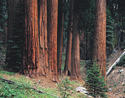 L173 Giant Sequoias
