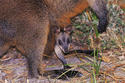 W10 Swamp Wallaby
